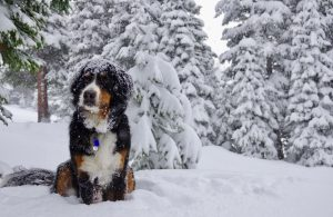 may-snow-toby-the-bernese-mountain-dog-at-loveland